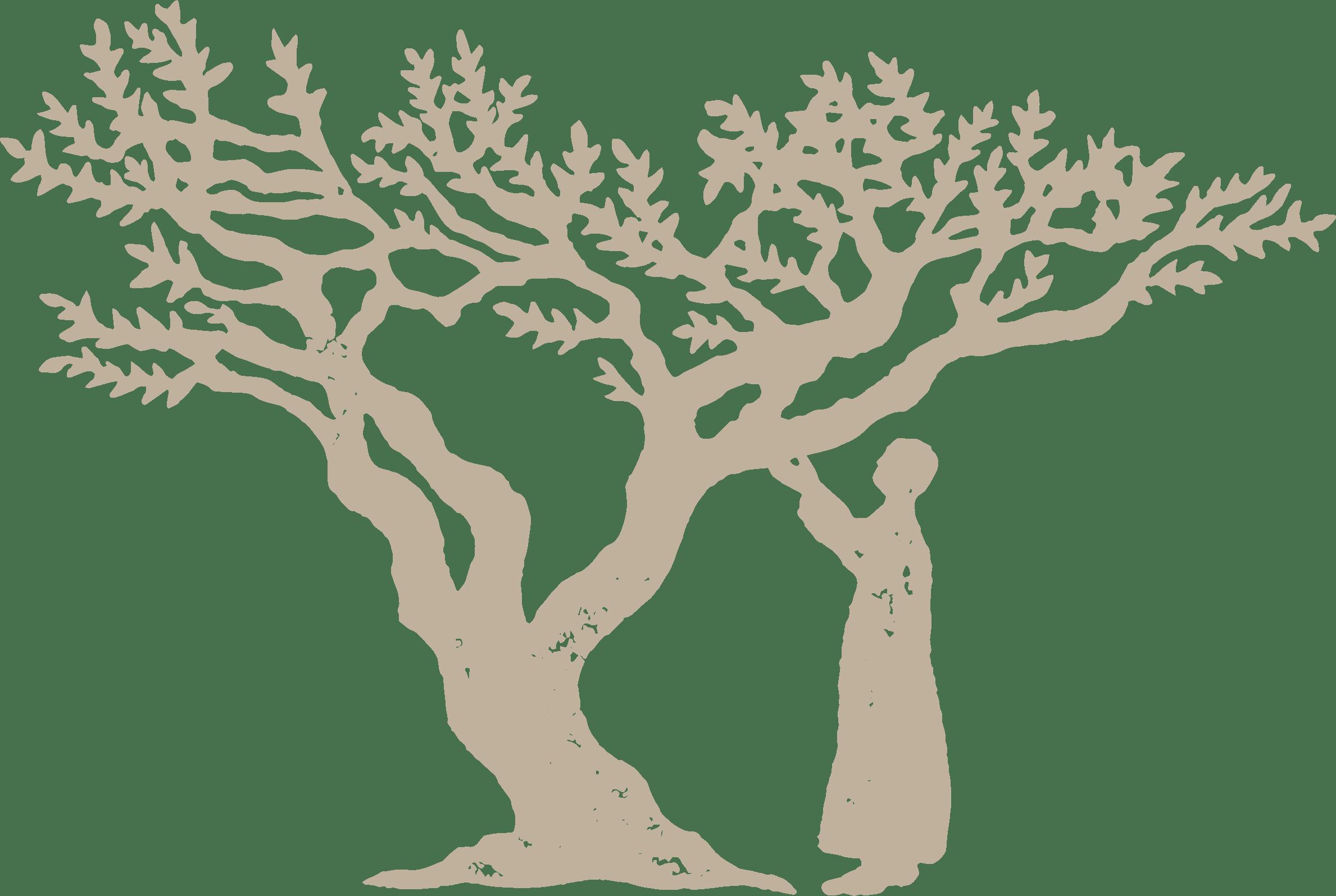 frankincense tree grade A Boswellia sacra resin extract